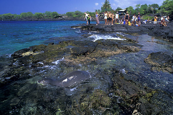 onlookers gather as endangered Hawaiian monk seal, Monachus schauinslandi, or 'ilio-holo-i-ka-uaua (H) frolicks in a tide pool at Honaunau Bay, Big Island of Hawaii ( Central Pacific Ocean )<br /> 2