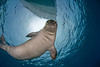 endangered Hawaiian monk seal (female), Monachus schauinslandi, at Ho'okena, Hawaii ( Central Pacific Ocean )