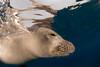 endangered Hawaiian monk seal, Monachus schauinslandi, at Ho'okena, Hawaii ( Central Pacific Ocean )