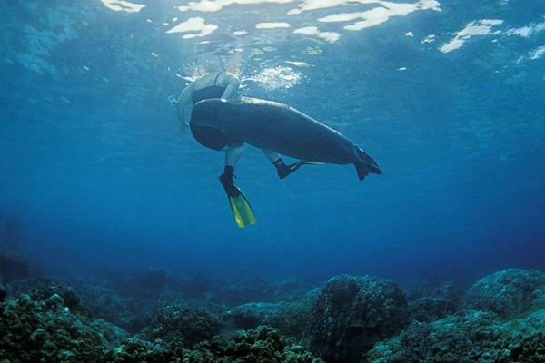 Endangered Hawaiian monk seal, Monachus schauinslandi, or 'ilio-holo-i-ka-uaua (H), cavorts with snorkeler Kristi Wheeler at Honaunau Bay, Big Island of Hawaii ( Central Pacific Ocean ) <br /> 2