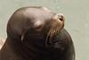 California sea lion, Zalophus californianus, Newport, Oregon ( Pacific Northwest )