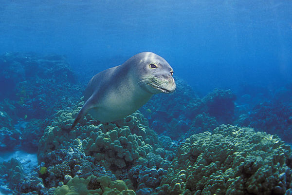 Endangered Hawaiian monk seal, Monachus schauinslandi, or 'ilio-holo-i-ka-uaua (H) at Honaunau Bay, Big Island of Hawaii ( Central Pacific Ocean )<br /> 2