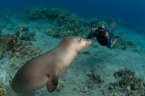 photographer Tom Carey with endangered Hawaiian monk seal, Monachus schauinslandi, at Ho'okena, Hawaii ( Central Pacific Ocean )