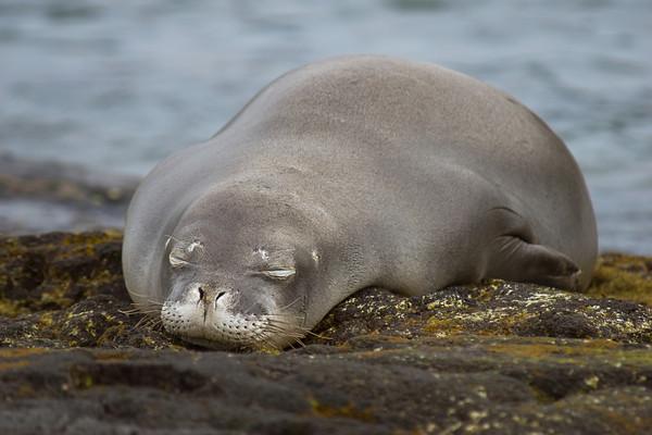 endangered Hawaiian monk seal, Monachus schauinslandi, at Kahalu'u, Hawaii ( Central Pacific Ocean )