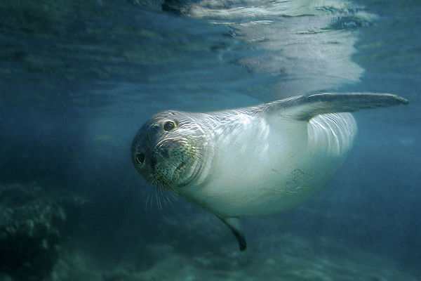 Endangered Hawaiian monk seal, Monachus schauinslandi, or 'ilio-holo-i-ka-uaua (H) at Honaunau Bay, Big Island of Hawaii ( Central Pacific Ocean )<br /> 1
