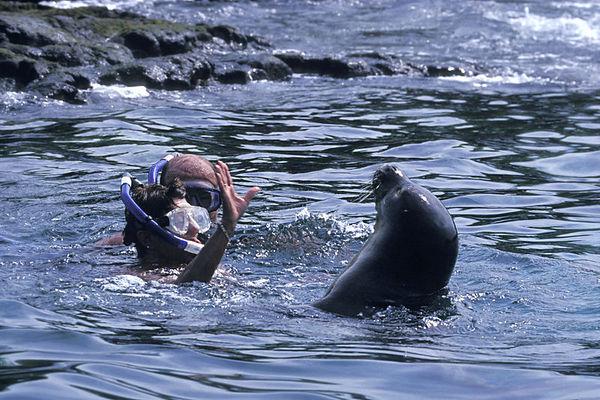 Endangered Hawaiian monk seal, Monachus schauinslandi, or 'ilio-holo-i-ka-uaua (H) cavorts with snorkelers at Honaunau Bay, Big Island of Hawaii <br /> ( Central Pacific Ocean )<br /> 2