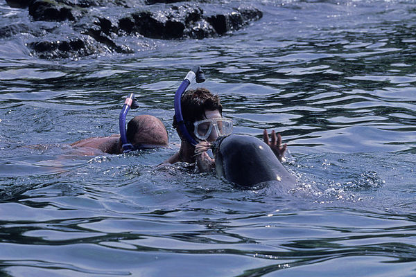 Endangered Hawaiian monk seal, Monachus schauinslandi, or 'ilio-holo-i-ka-uaua (H) cavorts with snorkelers at Honaunau Bay, Big Island of Hawaii <br /> ( Central Pacific Ocean )<br /> 2