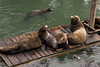 California sea lions, Zalophus californianus, Newport, Oregon ( Pacific Northwest )