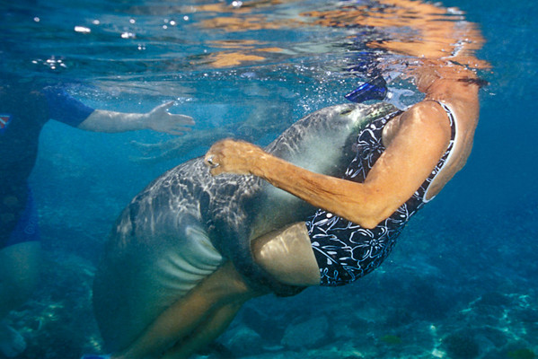 snorkeler has a close encounter with an endangered Hawaiian monk seal, Monachus schauinslandi, at Honaunau Bay, Hawaii ( Central Pacific Ocean ) ( dm )