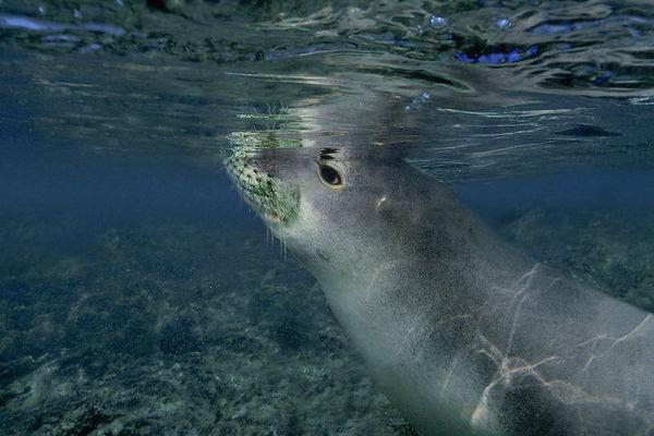 Endangered Hawaiian monk seal, Monachus schauinslandi, or 'ilio-holo-i-ka-uaua (H) at Honaunau Bay, Big Island of Hawaii ( Central Pacific Ocean )<br /> 2