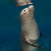 endangered Hawaiian monk seal, Monachus schauinslandi, at Ho'okena, Hawaii ( Central Pacific Ocean )