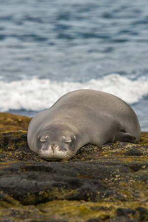 endangered Hawaiian monk seal, Monachus schauinslandi, at Kahalu'u, Hawaii ( Central Pacific Ocean )