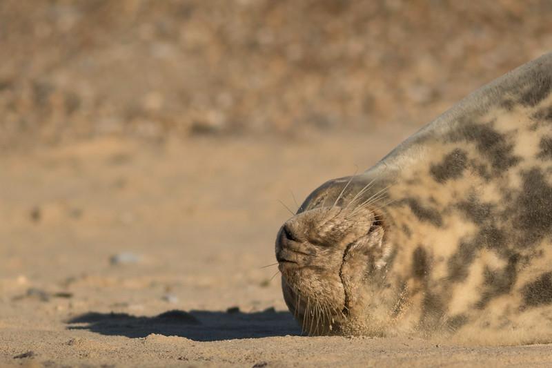 Horsey Gap Seal Colony