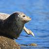 Pacific Harbor Seal (Phoca vitulina)
