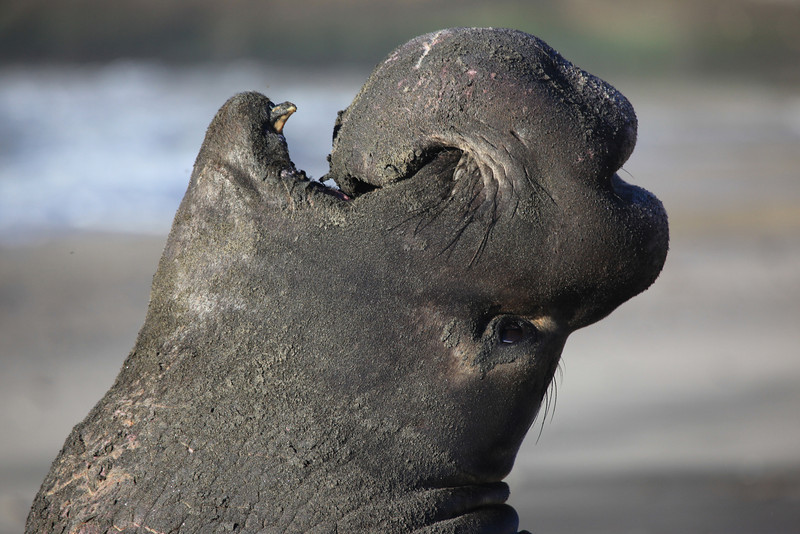 Northern Elephant Seal (Mirounga angustirostris)