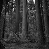 Redwoods in Black And White