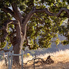 Oak Tree On a Hollister Hillside