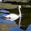 Mute Swan in the Great Fountain