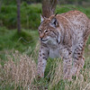 "Eurasian Lynx  ""Petra"""