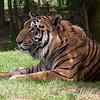 "Hybrid Tiger ""Bruno"""