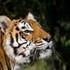 """Bengal Tiger """"Padmini"""""""