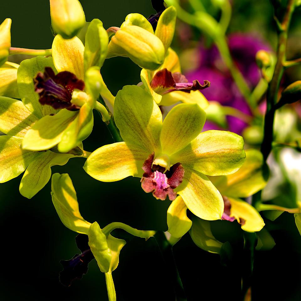 Yellow dendrodium