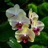 Phalaenopsis, TOH garden