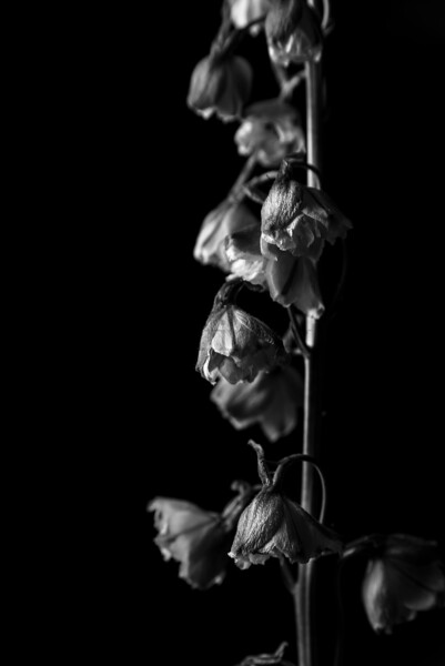 Black and White Delphinium_vert2