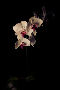 Warm Orchid
