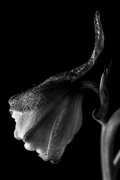 Black and White Delphinium Macro