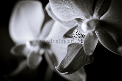 Orchid BW