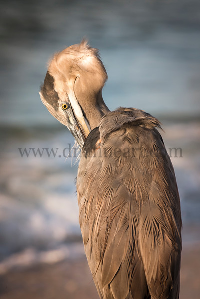 Preening Great Blue Heron