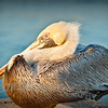 THIS IS MY PELICAN