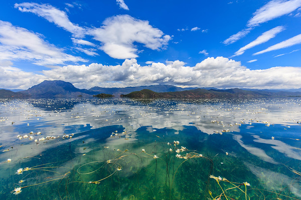 Seaweed flowers blooming on the Lugu Lake, Yunnan, China