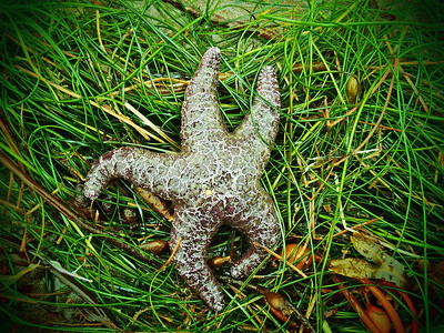 An Ochre Sea Star