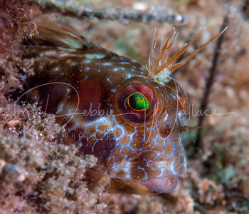 Blenny and the Jets