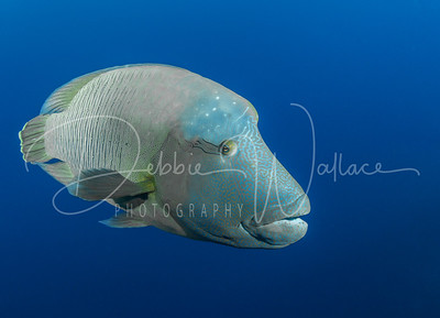 Regal Wrasse