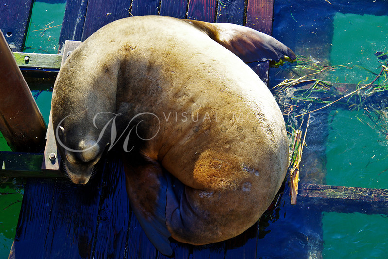 Sea Lion Rest on the Docks of Old Town, Newport