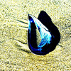 Mussel Shell