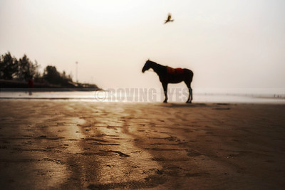 B19:The lonely horse stands as a sentinel with only the gull as company at dawn in Mandarmoni,West Bengal