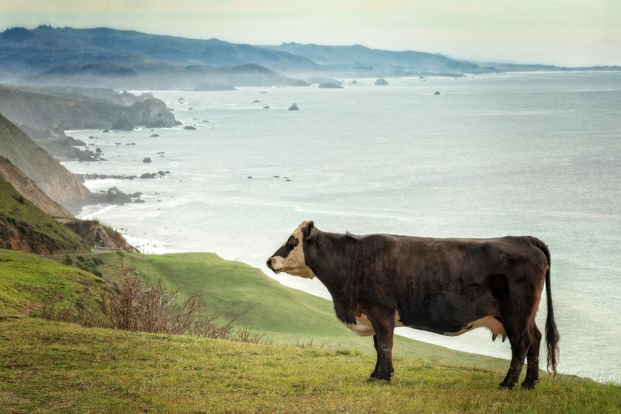 Cliffside Cow, Sonoma Coast, California