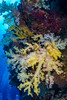 Yellow soft corals!