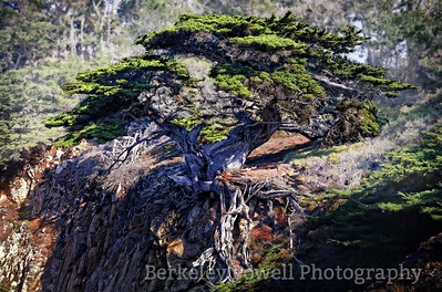 Cliff with Monterey Cypress