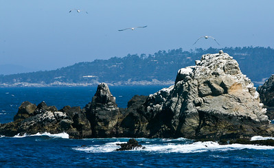 Seagulls at Point Lobos