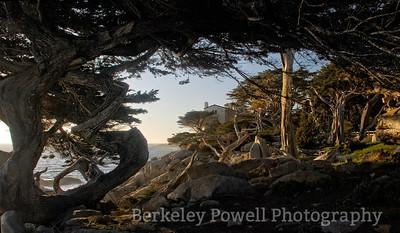 Twisted Monterey Cypress