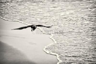 B10:A crow flies low over the foam,looking for scraps in Calangute,Goa