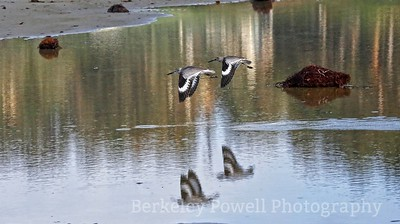 Willet Pair & Reflection