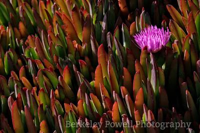 Flowering Shrimp Plant