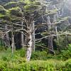 Foggy Trees, Olympic Peninsula