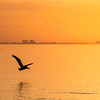 Pelican Silhouette at Sunrise